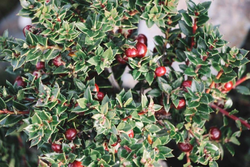 Chaura, o fruto proibido das Islas Bridge, em Ushuaia